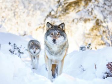 Ulveprat i podden
