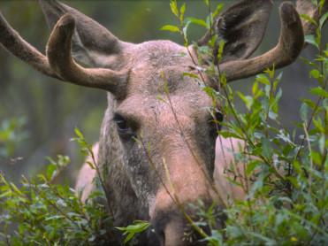 I godt elgjaktlag – myter, innsikt og skråblikk
