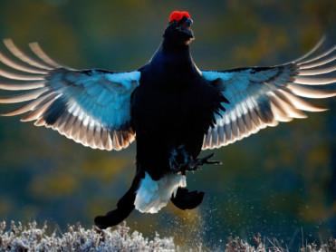 Oppsving for rype og skogsfugl