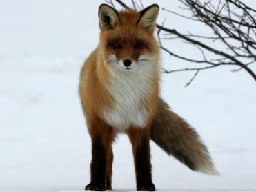 Gir jakt på rev og mår mer rype og skogsfugl?