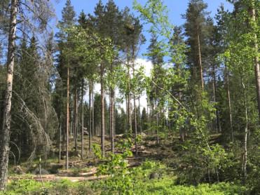 Sterkere skog mot snølast og stormkast