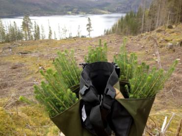 Får fart på skogplantingen